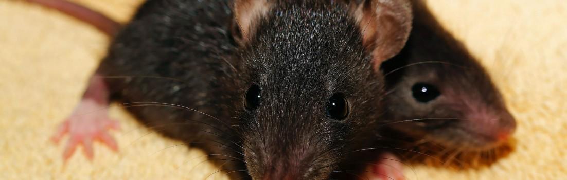 rat-435950_1920